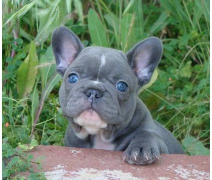 Jack might need a friend... Blue Frenchie!: Bulldog Frenchielove, Blue French Bulldog Puppy, Baby French Bulldog, French Bulldog Blue, Blue Frenchie Puppy, Bulldogs Blue, Blue French Bulldogs, Baby Animals, Blue Frenchies