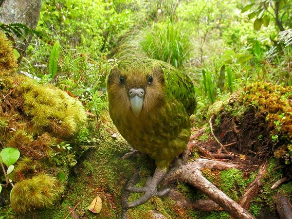 "Kakapo    Photograph courtesy Shane McInnes via The World's Rarest Birds    One of the rarest birds of all is New Zealand's kakapo. The above picture of the large, flightless bird approaching the camera snagged first place in the ""critically e"