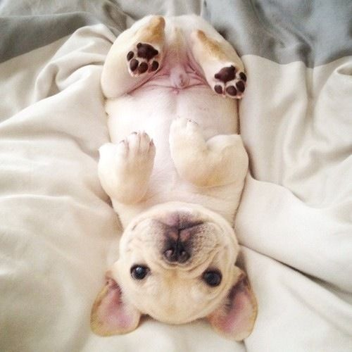 oh, hello there!: Cute Puppies, Animals, Pet, Puppys, French Bulldogs Puppy, Box, Frenchie, French Bulldog Puppies, Bulldog French Puppy