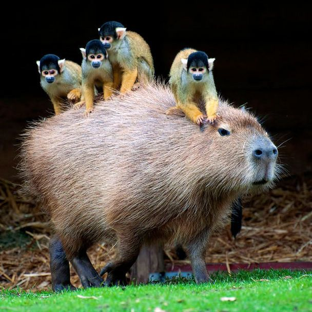 Oh, Just A Capybara With Tiny Monkeys Riding On Its Back: Animals, Monkeys Riding, Creatures, Funny Animal, Capybara, Tiny Monkey, Friend
