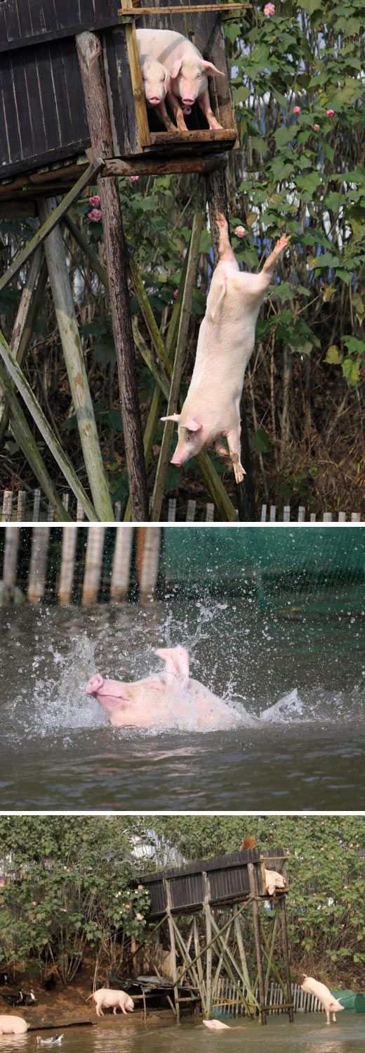 Pigs Are Adorable When They're Having Fun <---um, pigs are always adorable.: Random Pictures, Animals, Pigs Swimming, Swimming Pigs, Funny, Piggies Swimming, Swimming Hole