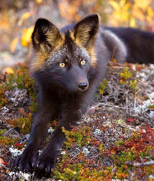 "Rare Silver Fox ♥    Silver foxes have been called the ""king of the fur-bearing animals"" due to the popularity of their pelts throughout history.    The silver fox has black coloring and varying degrees of silver streaks. Its fur is so beautiful t"