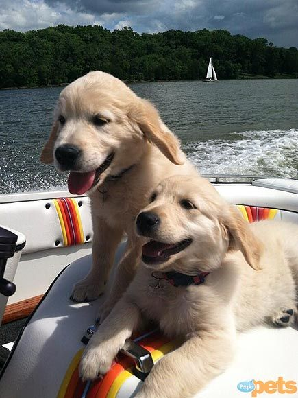 So now the twins are so comfy on boats. They are good swimmers, very protective of their people and love their jobs...............: Doggie, Twin, Cutest Pets, Dogs, Golden Retrievers, Puppy, Animal, Golden Retriever Puppies