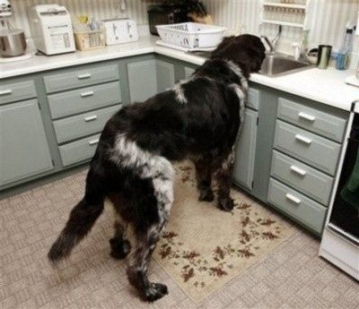This dog who thinks the sink is his water bowl.   21 Dogs Who Don't Realize How Big They Are: Huge Dogs, Bowl, Animals, Landseer Newfoundland, Pet, Sink, Big Dogs