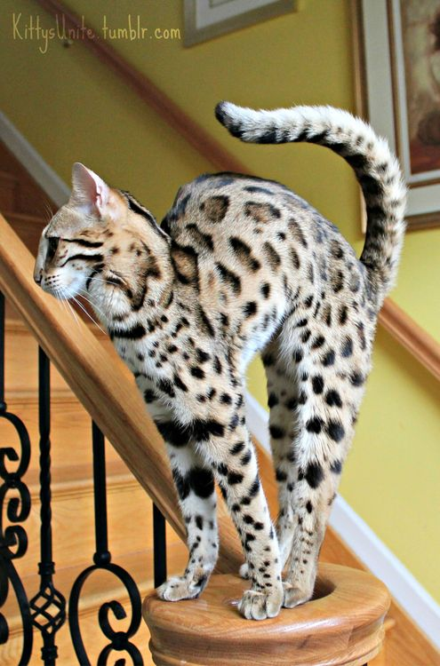 bengal beauty. This cat has been on my wish list for years <3   ...........click here to find out more     http://googydog.com: Bengal Cats, Beautiful Cat, Animals, Leopard Cat, Pet, Pretty Cat, Savannah Cat, Kitty