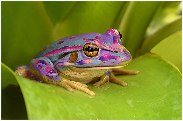 Pastel Purple Frog- colors applied in Photoshop. Powder blue color is actually bright green, purple/pink sections are actually gold.: Pastel Purple, Purple Frogs, Blue Color, Frog, Creature, Froggy, Colorful Frog, Animal