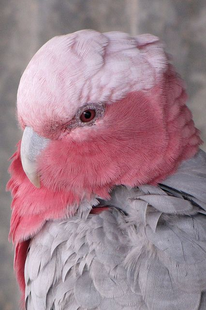 Rose-breasted Cockatoo, Australia  (by zoom_eric on Flickr)..these birds are so soft   so beautifull. .I love them.: Galah Close Up, Rose Breasted Cockatoo, Pink Rose, Beautiful Birds, Animal, Pink Bird