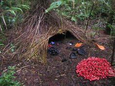 """To attract a partner, the male bowerbird builds and decorates an elaborate nest, which can take weeks to assemble. The bower -- a structure woven around a sapling that looks almost like a wooden tent -- is carpeted with moss and decorated with flower"