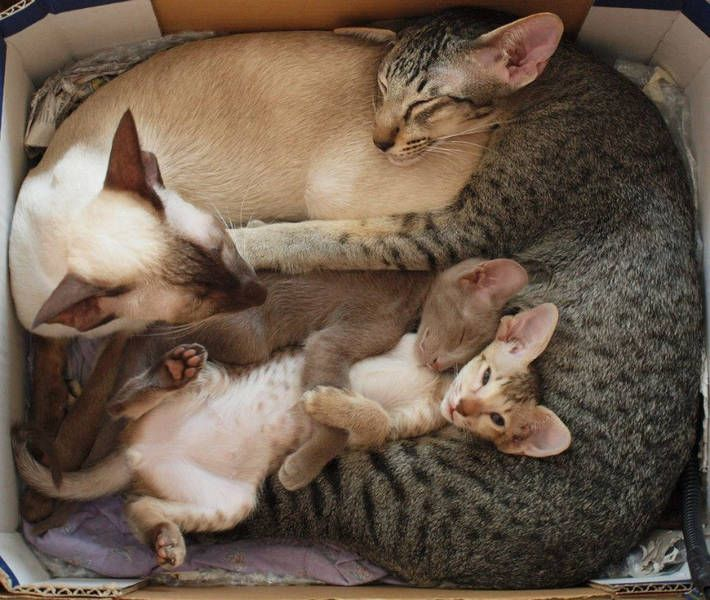 Abyssinian Family***One of my favorite cat breeds. Such beautiful markings!!: Cats, Animals, Kitten, Sweet, Pet, Families, Family Photo, Kitty