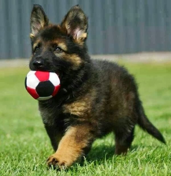 Adorable German Shepherd Puppy...Just might need another puppy after the baby comes!: Animals, German Shepards, Dogs, Puppys, German Shepherd Puppies, German Shepherds, Gsd