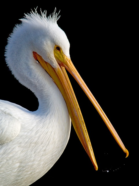 American White Pelican  Lake Merritt, Oakland, California. (First designated wildlife sanctuary in North America,1870) photo by Jerry Ting on flickr: Birds 1 Water Birds, North American Birds, North America Wildlife, Birds Pelicans, North America 1870, Wh
