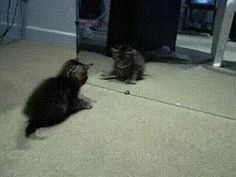 Awww! so cute. #Cat assuming another cat in front of the mirror.  #funnycats