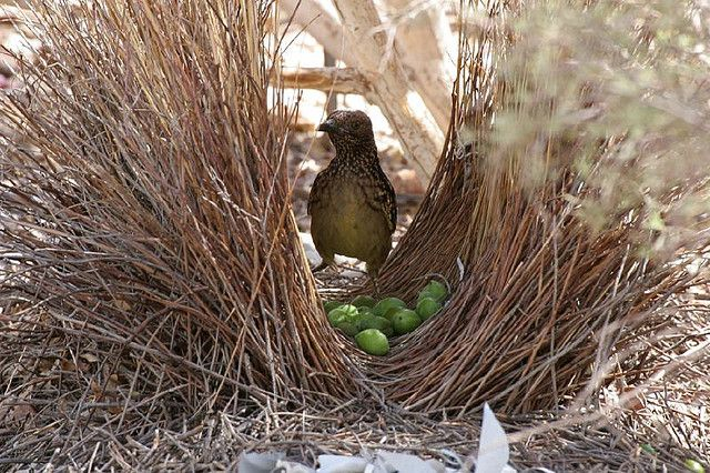 bower bird nest | bower_bird_nest « Perspective – The blog of Apartment 48: Birdnests, Western Bower, Bower Birds, Bird Nests, Beautiful Birds, Animal