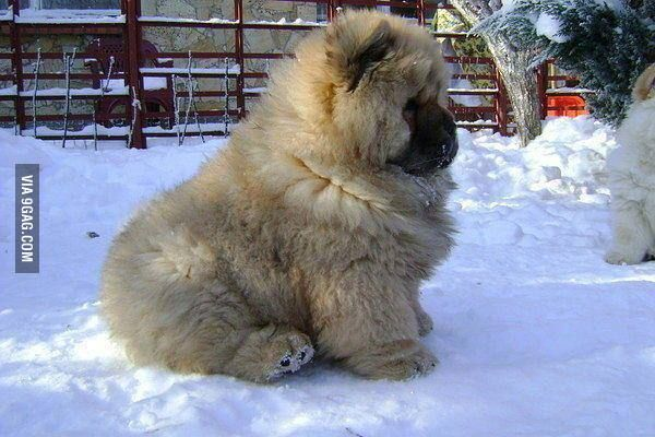 Caucasian Shepherd puppy - the cutest fattest fluffiest puppy ever.: Puppies, Animals, Fluffy, Dogs, Pet, Chow Chow, Puppy, Caucasian Shepherd, Friend