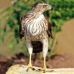 Cooper's Hawk. These as well as the similar but smaller Sharp-shinned hawks are attracted to backyard bird-feeders.: Accipiter Cooperii, Hawks, Beautiful Birds, Coopershawk, Birds Raptors, Animal
