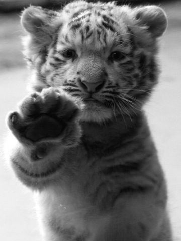 cute little tiger ....Don't hate, meditate.: High Five, Big Cats, Animals, Pet, Tiger Cubs, Adorable, Baby Tigers