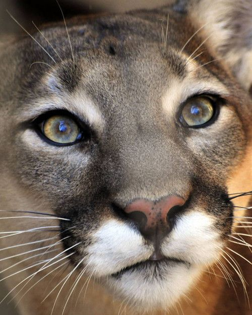 Did you know that a Puma, a Mountain Lion, a Cougar and a Panther (not to be confused with Black Panthers of Asia, Africa and Latin America) are all the same animal? The latin name for the smallest of the big cats is Puma concolor.: Mountainlion, Big Cats
