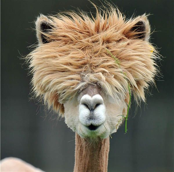 funny alpacas with awesome amazing hilarious hair (15): Flames, Animals, Creature, Pet, Bad Hair, Funny, Alpacas, Hairstyle, Haircut