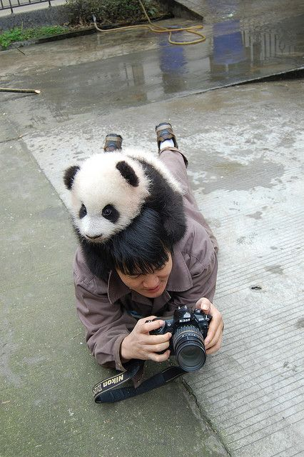 Hold still now ... let me help you ...lean a little to your left now!!: Baby Pandas, Cuteness, Adorable Animals, Stuff, Funny, Photo, Panda Bears