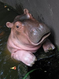 i LOVE hippos and this baby one is just so darn adorable!