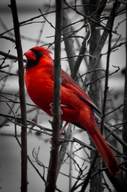 Mr. Cardinal: Red Cardinals Birds, Cardinal Birds, Cardnial Birds, B W Background, Favorite Bird, Photo, Birds Cardinals