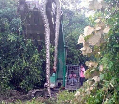 Photograph purporting to show a 55ft snake found in a forest in Malaysia has become an internet sensation. Biggest snake in the world: Feet Long, 55Ft Snake, Animals, Huge Snake, Largest Snake, Anaconda, Photo, Snakes