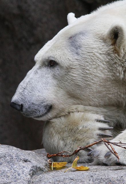 Polar Bear: Photos, Wild, Animals Polarbear, Polar Bears, Mark Dumont, Pensive Polar, Polarbears, Very