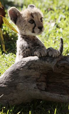 Precious! Lovely little cheetah