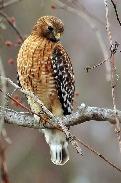 Red Shouldered Hawk.... these are gorgeous birds when they fly. I was lucky enough to observe one up very closely when it landed on a light post just outside my sister-in-law's patio in So Cal.: 44 Birds, Anemals Birds, Birdie, Feathered Beauty, Red S
