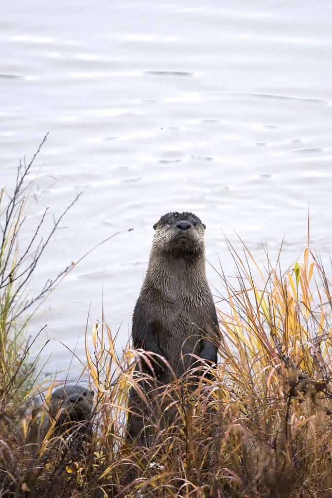 river otters | animal + wildlife photography: Adorable Otters, Otter Dollar, Otter Pin, Beautiful Otters, Otter Lover, Otter Ly Adorable, Otter King, Photo