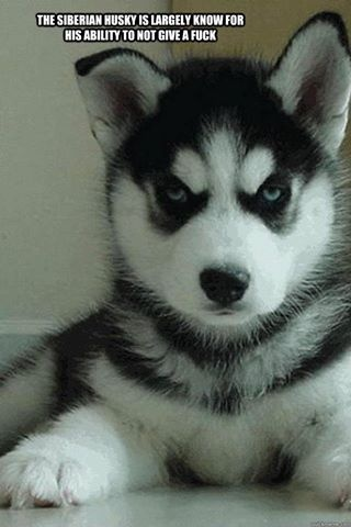 the Siberian husky is known for...: Animals, Dogs, Siberian Husky, Truth, Pet, Puppys, Things, Huskies Puppies