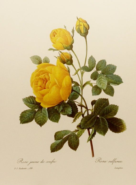 Yellow Rose Botanical Illustration: Botanical Illustration, Botanical Prints, Google Search, Art, Yellowroses, Yellow Roses, Vintage Botanical, Flower