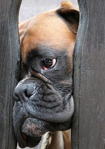 I want to go with you....Oh he seems so sad. Look at that Face. I would play with you all day!: Face, Boxers Dogs, Boxers Love, Dogs Boxers, By, Boxers Animals, Boxers ️, Eye