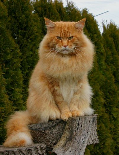 Orange Tabby Maine Coon - with attitude: Orange Tabby, Face, Animals, Maine Coon Cats, Kittens, Kitties, Ginger Cats, Mainecoon Cats