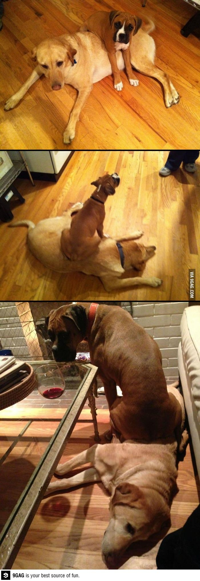 Some things never change (boxer) Mine does this to whom ever sits on the floor.: Fishaayy Animals, Funny Animals, Boxer Rotts Dogs, Boxer Dogs, Change Boxers, Animal Stuff, Silly Boxers, Things, Dog Stuff