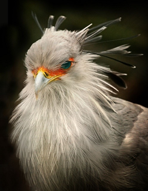 The Secretarybird or Secretary Bird (Sagittarius serpentarius) is a large, mostly terrestrial bird of prey.: Birds Feathered Friends, Birds General Photos, Beautiful Birds, Animals Birds, Serpentarius Secretarybird, Animal Birds, Secretary Birds, Africa B