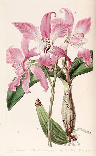 """Laelia autumnalis"", 1839 - From ""Edwards's Botanical Register"", volume 25 (NS 2) plate 27, by Miss Drake (1803-1857) del. , G. Barclay sc.: Orchids Ill, Art Botanicals, 1 Botanical, Botanical Prints, Botanical Illustrations, Art Illus"
