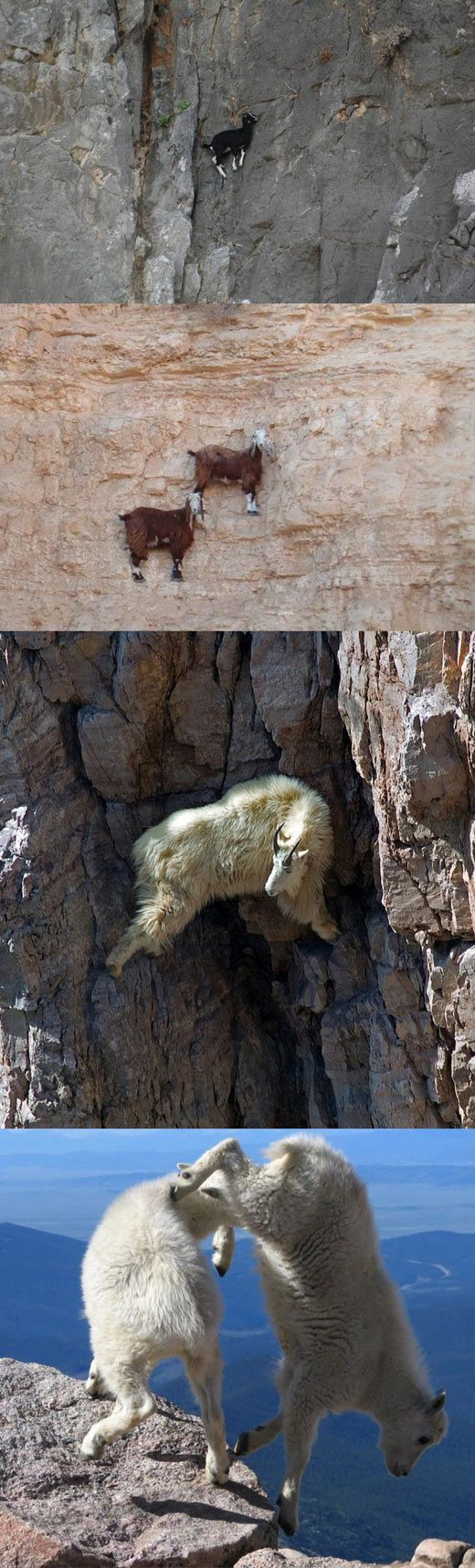 Because I'm a capricorn and must remember that I have very good footing when climbing mountains.  Goats doing what they usually do…: Funny Animals, Animals Goat Esque, Animals Bring, Mountain Goats, Goats Rocks Climbing Mountain, Animals Goats, Animal