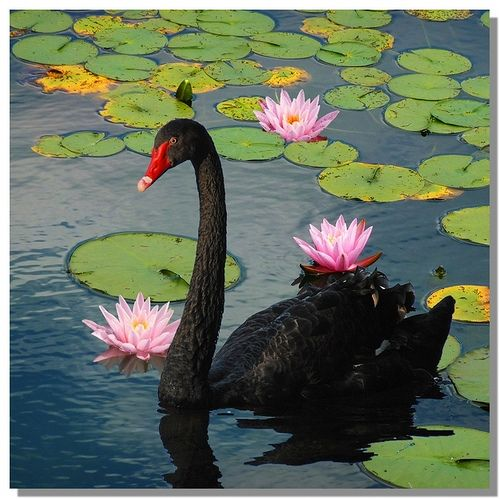Black Swan....too amazing... we live on this planet with such a Beauty!!! Omg!: Black Swan Bird, Waterfowl Geese Swans, Black Swan Too, Black Swans So, Swan Too Amazing, Birds Swans, Animal