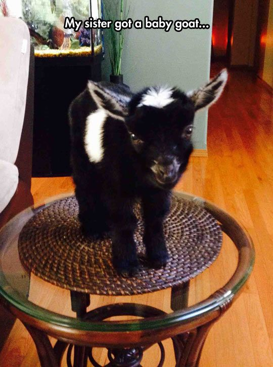 Cute, but... #goat: Babies, Cuteness Overload, Critter, Pet, Funny, Pygmy Goats, Baby Animals, Baby Goats, My Sister