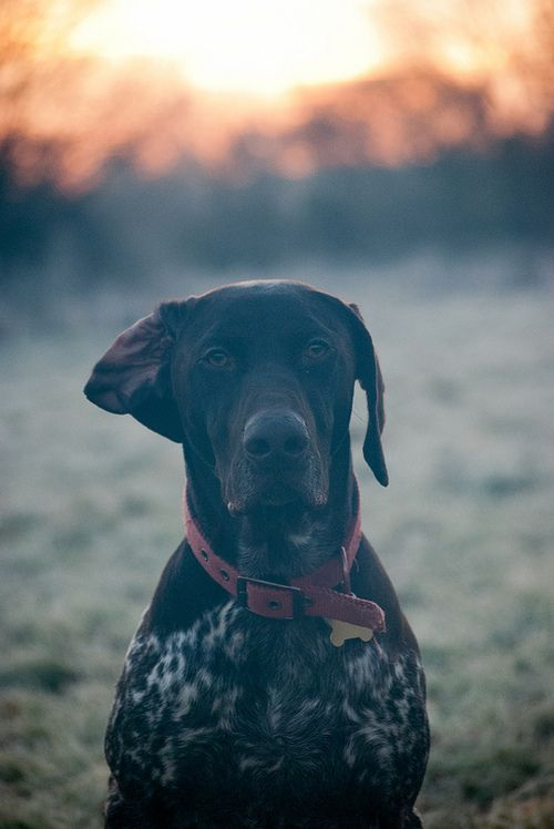 German shorthaired pointer- one of the sweetest fosters I ever had the pleasure of being a mom too <3: Doggie, Hunting Dogs, Gsps, German Shorthaired Pointer, Photo, Friend, Animal