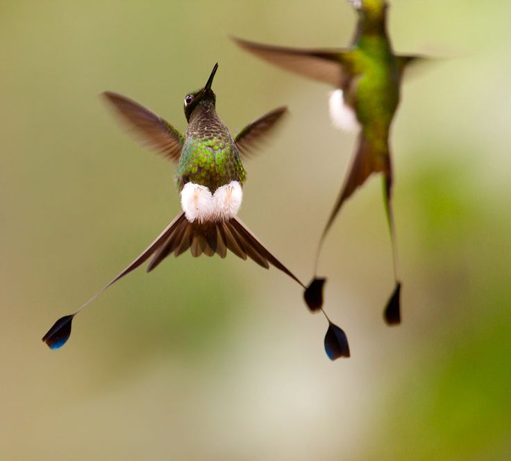 Humming bird (booted raquet tails) - woooohhhhw..: Racket Tailed Hummingbird, Animals, Humming Birds, Nature, Racket Tail Hummingbird, Beautiful Birds, Hummingbirds