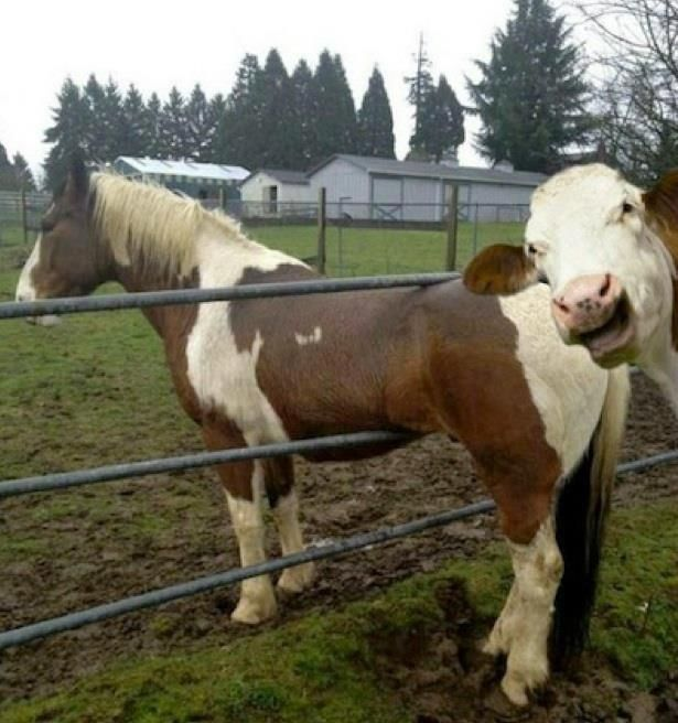 I dont know what is funnier.. the horse that is stuck in the gate or a photobomb from a cow...lol!!: Picture, Photobomb, Animals, Horses, Funny Stuff, Cow, Funny Animal