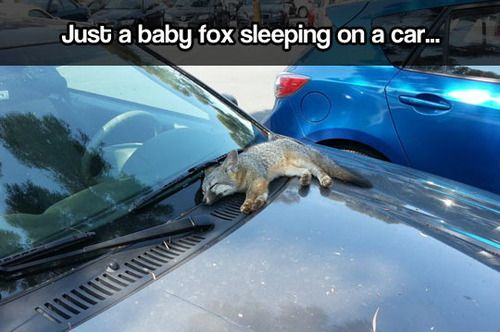 Omg!! So cute, but reminds me of Todd from fox and the hound! UGH, I can't even watch that movie .. it hurts. Haha: Babies, Animals, Stuff, Cars, Adorable, Funny Animal, Things, Baby Foxes