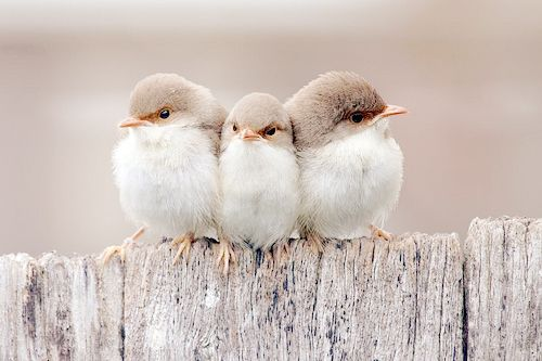 Precious...: Animals, Sweet, Nature, Birdie, Three Little Birds, Things, Beautiful Birds, Photo