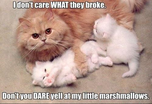 Protect your marshmallows. They're cute and stuff.: Cats, Animals, Kitten, Stuff, Funny Animal, Marshmallows, Kitty
