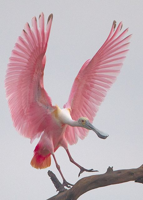 Roseate Spoonbill.: Animals, Nature, Pretty Pink, Creature, Wings, Beautiful Birds, Roseate Spoonbill, Pink Bird