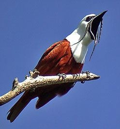Three Wattled Bellbird, Central & South America: Animals Birds Plants Flowers, Three Wattled Bellbird, Awesome Birds, Costa Rica, Bell Bird, Bellbird Procnias, Amazing Birds, Beautiful Birds