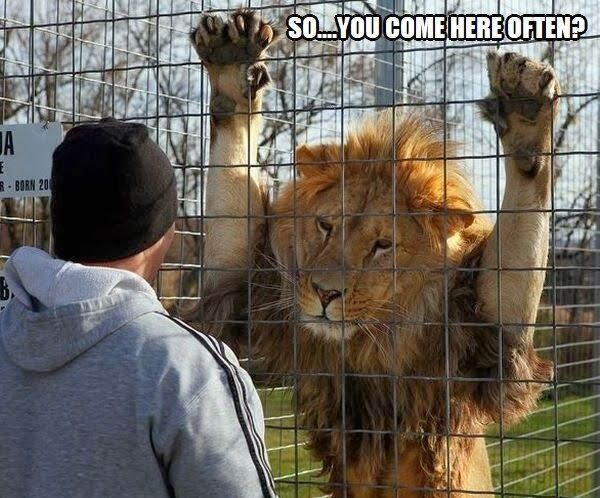 30 Funny animal captions - part 17 (30 pics), funny caption, animal pic with funny caption: Funny Animals, Lion, Big Cats, Funny Picture, Funny Stuff, Funnies, Humor, Things