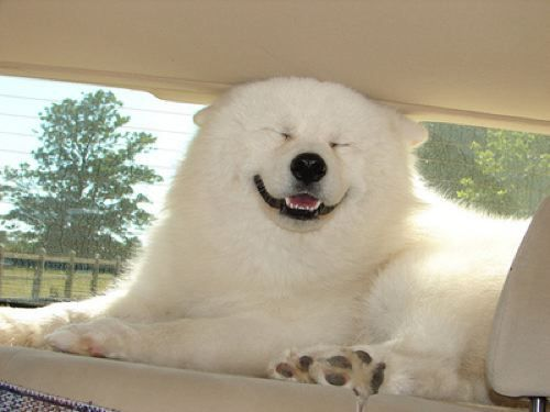 A dog that looks like a polar bear (?) I've never seen this breed before, but it sure is cute. Reminds me of a dog I once saw that resembled a lion.: Animals, Polar Bears, Dogs, Samoyed, Pet, Funny, Smile